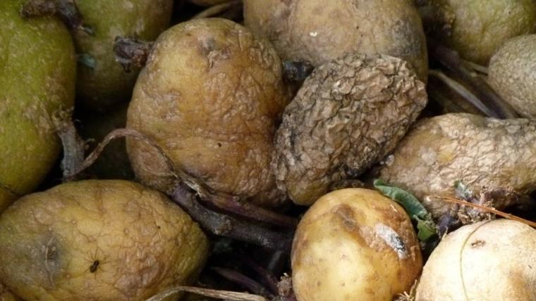 Krumpiri koji trule